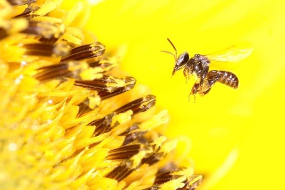 Melipona Bee